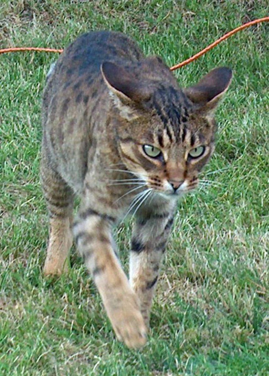 Ocicat—a hypoallergenic cat breed