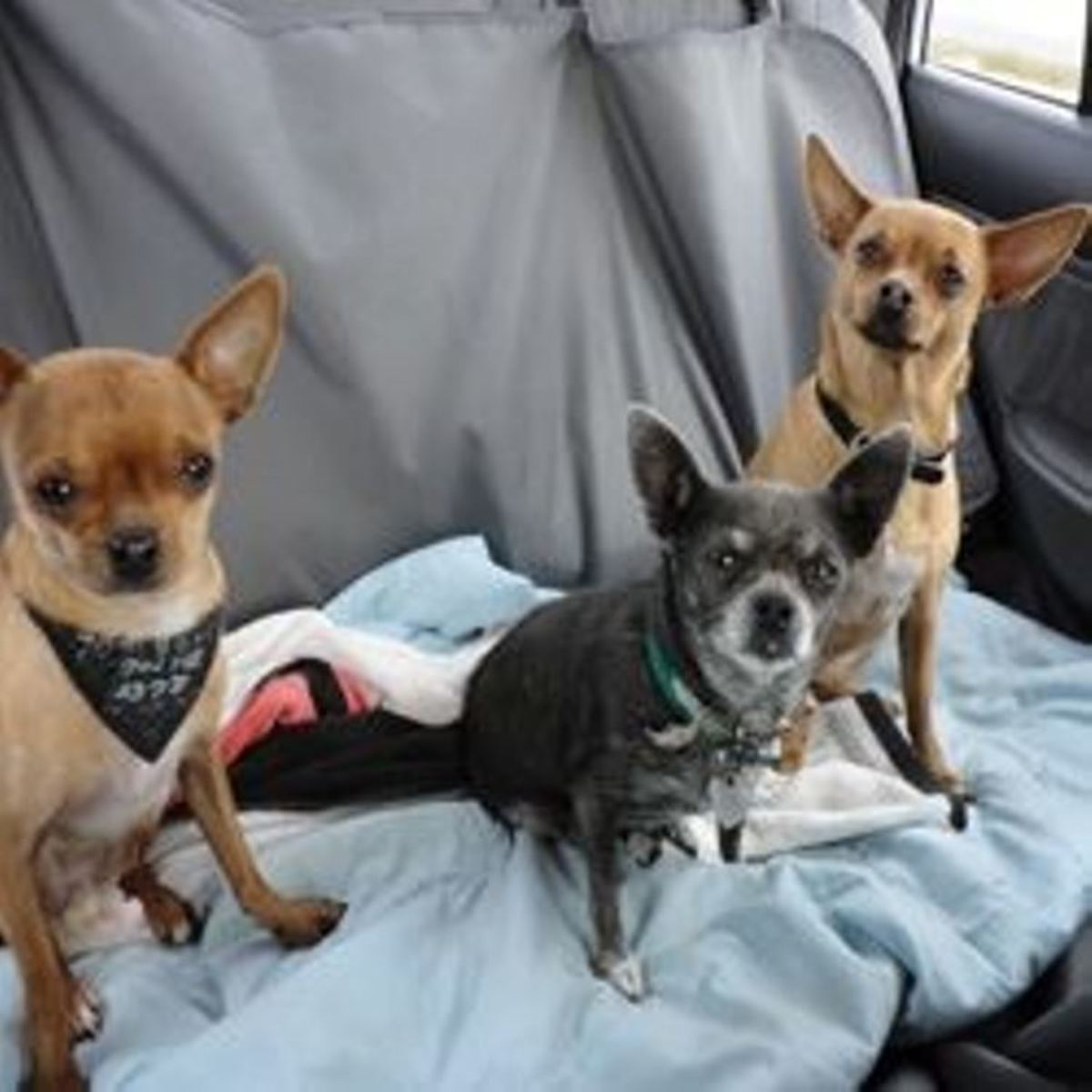 "Louie ""The Toothpick"" Cujo (L), Sassafras ""The Diva"" Sassy (M) and ""Crazy Boy"" Champ The Chewin' Chihuahua (R)"
