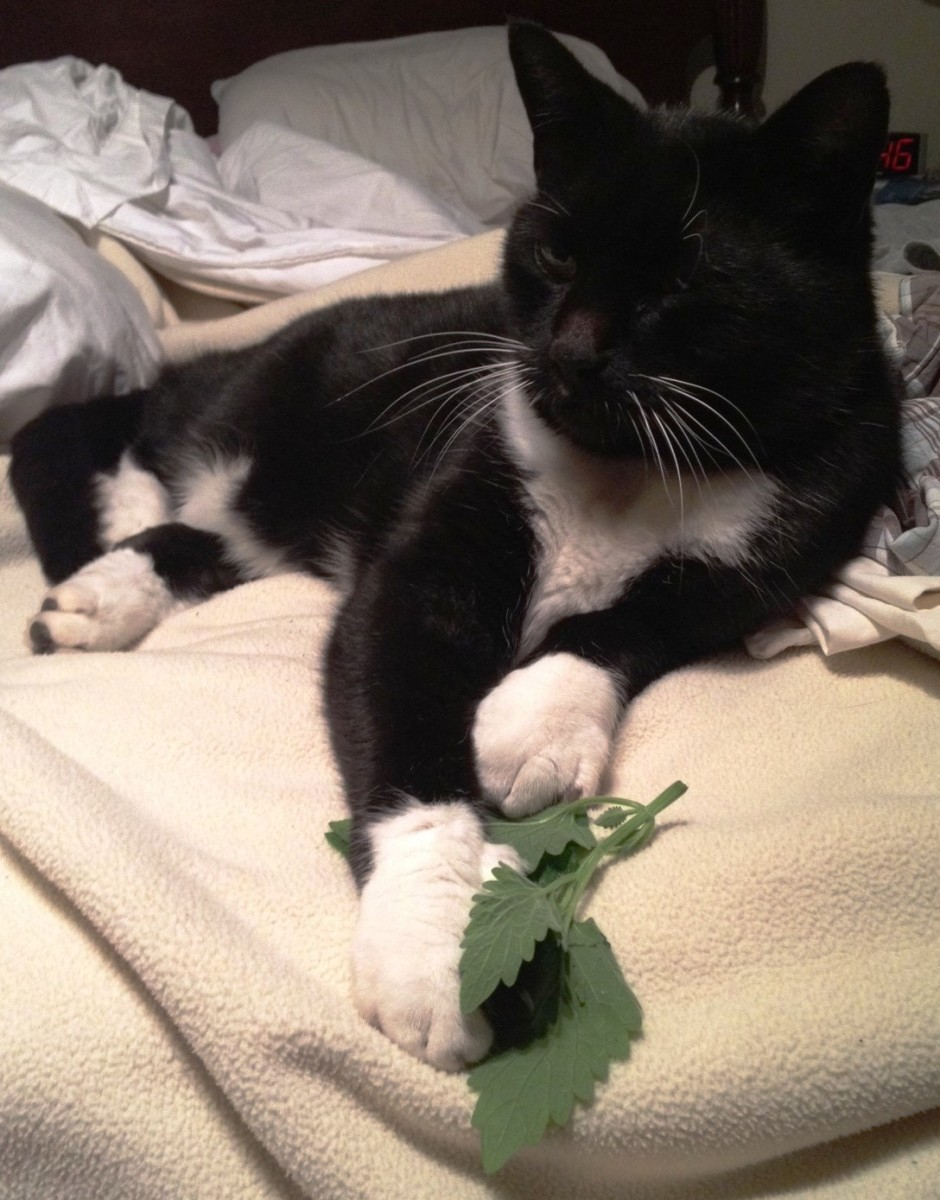 Catnip can be enjoyed fresh or dried.  Rascal likes it straight from the garden.