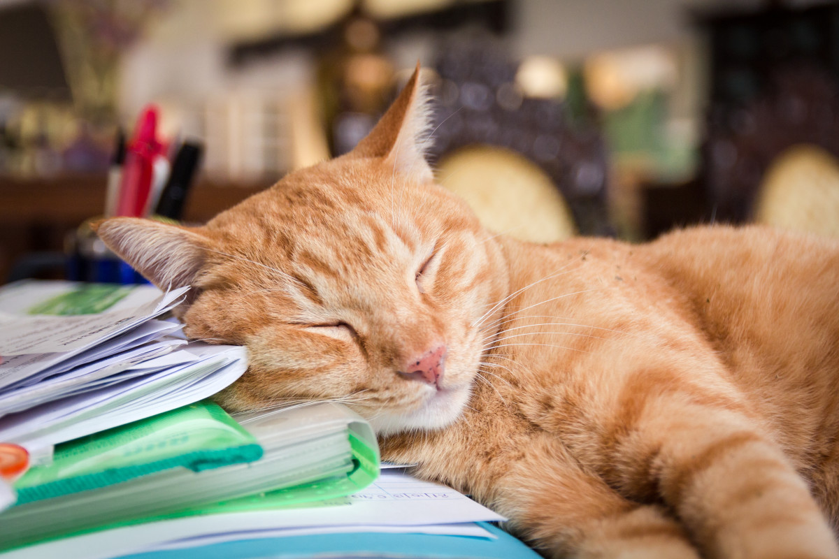 Tax returns can wait.  This cat has sleeping to do!