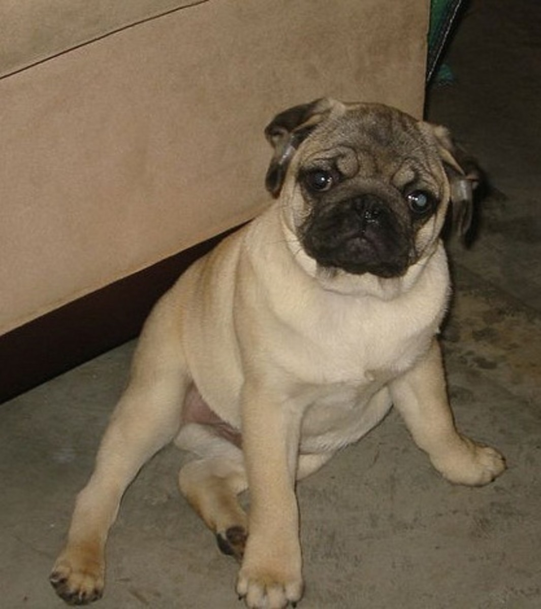 Younger and thinner Pugs may be quicker to react.