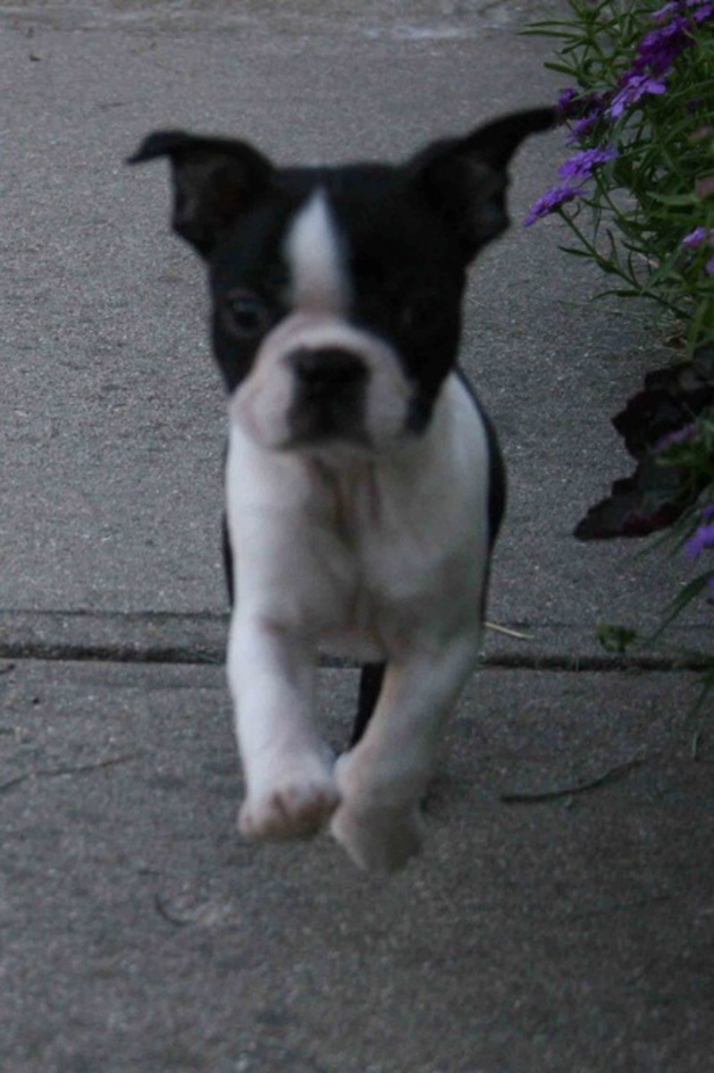 A Boston Terrier running to the rescue.