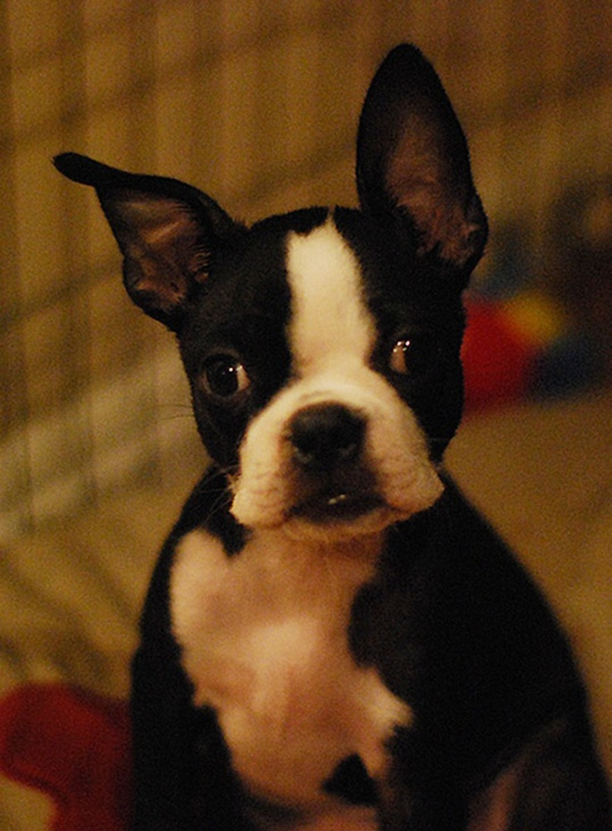 A Boston Terrier alert to odd sounds.