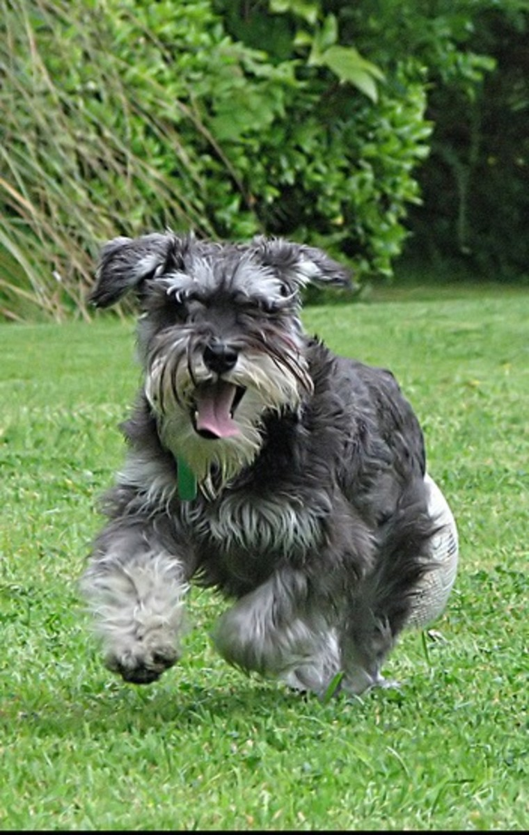 A Miniature Schnauzer watch dog on the run.