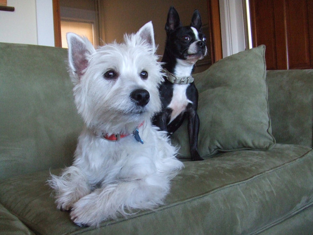Two good small watch dogs: A Boston Terrier and a West Highland White Terrier.