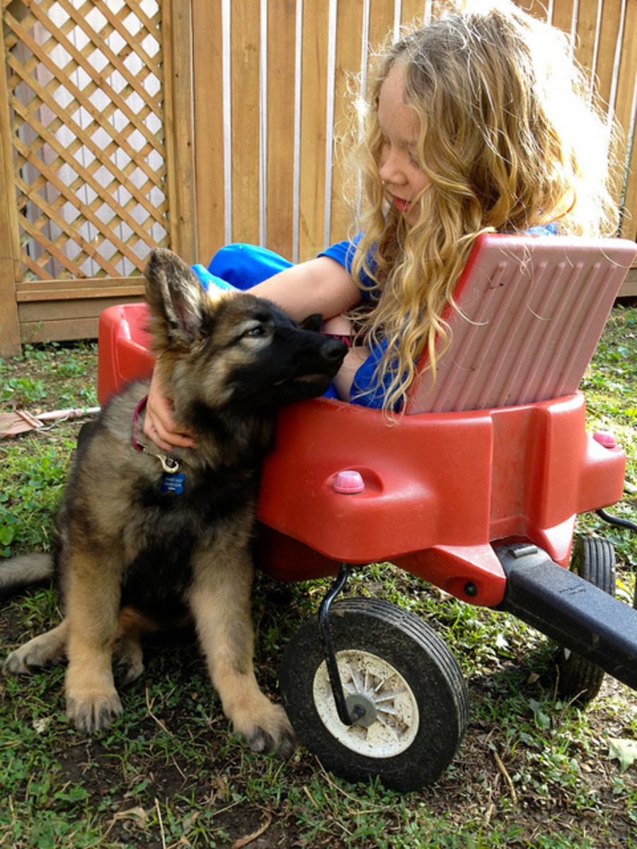 Shiloh Shepherds are good family guard dogs.