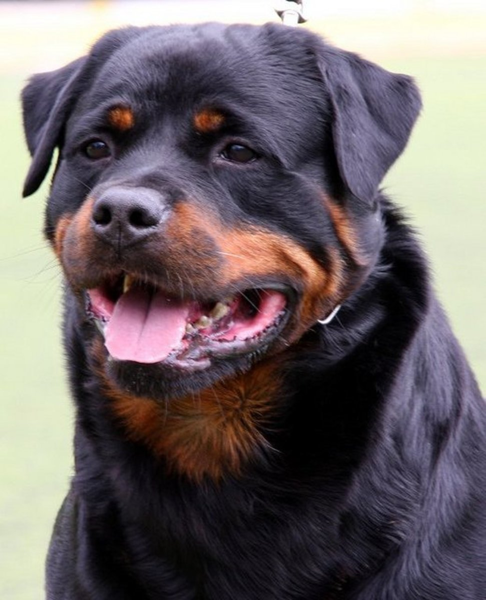 Rottweilers look like guards.