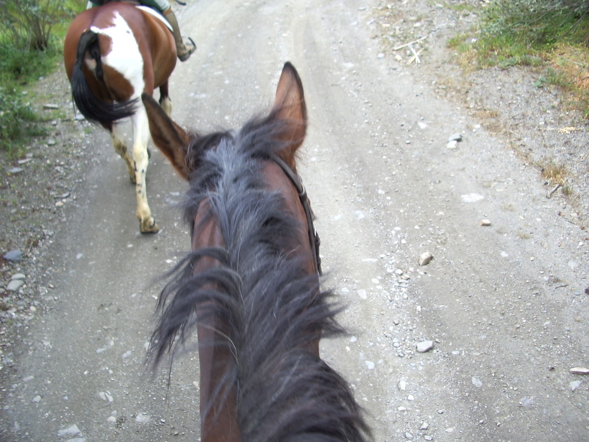 This horse has one ear back towards the rider, a sign that he is obediently paying attention to the rider, and staying aware of his surroundings. He is also traveling politely in a group.