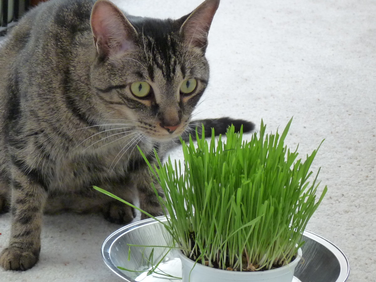 Grow some organic cat grass to give your cat a safe source of greens.