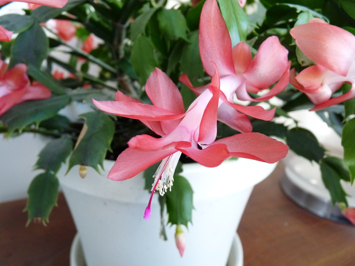 The Christmas Cactus is a cat-friendly plant. It's very low-maintenance and has beautiful flowers.