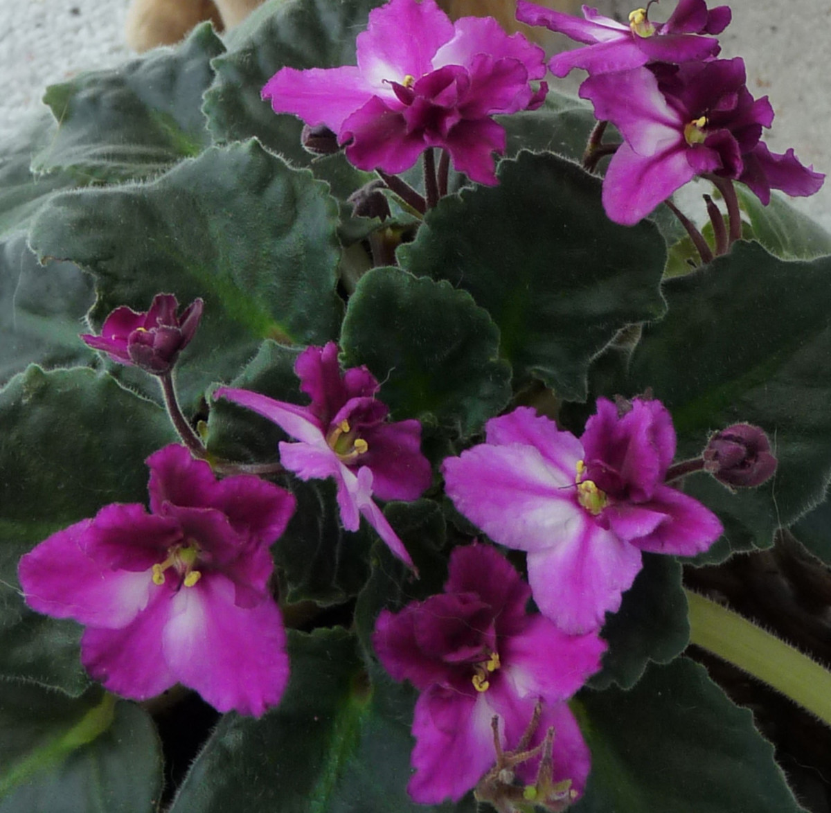 African Violets are safe for cats.