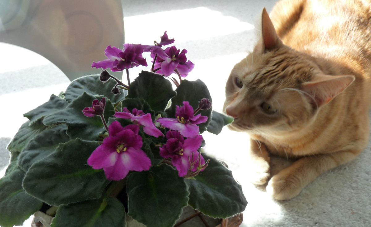 Some cats are just naturally curious about plants so make sure the plants in your home are cat-safe. African Violets are non-toxic to cats.