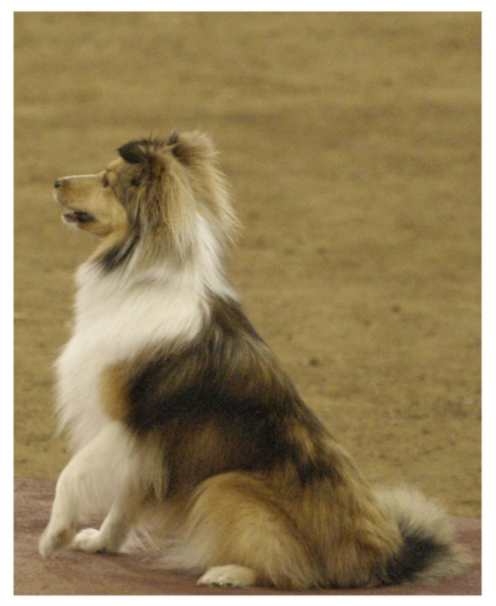 This sheltie is very focused and has a sharp mental game.