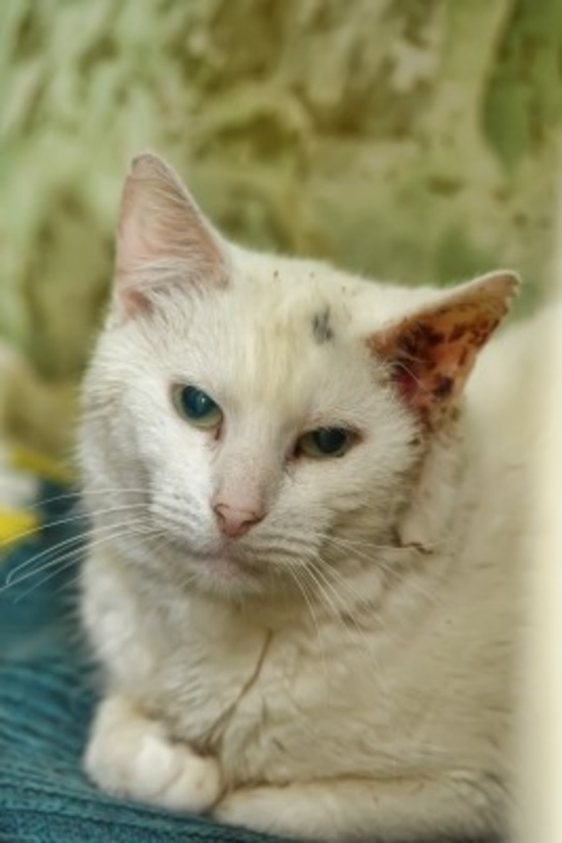 This poor cat has a badly affected ear and looks absolutely miserable