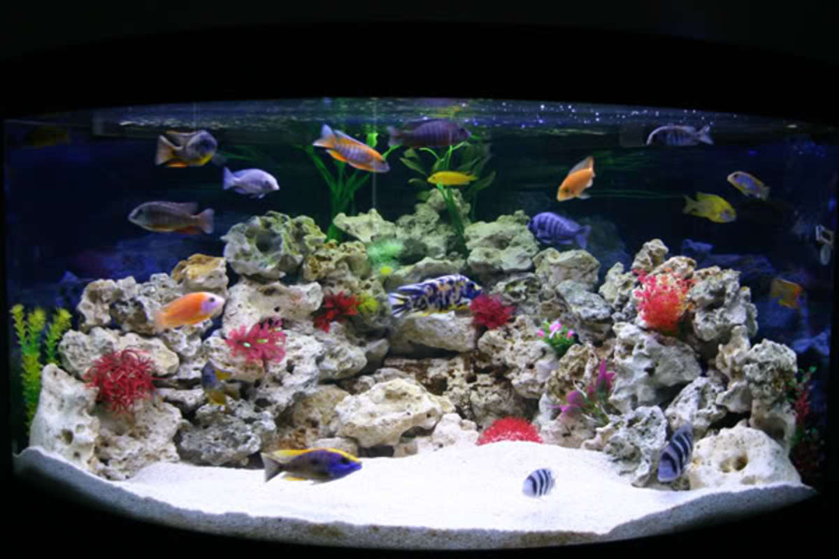 Cichlids are commonly bred in captivity and can give freshwater tanks the same color variety as their saltwater counterparts. some cichlids do grow very large and most prefer rocky structures.