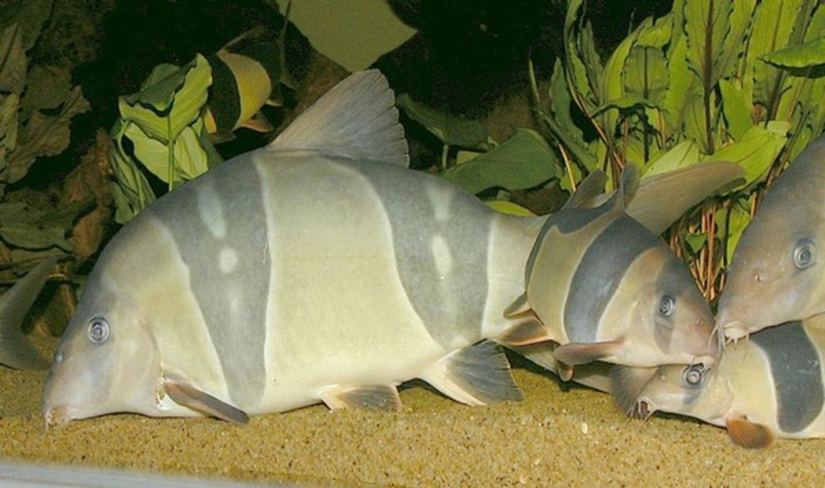 Clown Loaches can get 16 inches in length and require lots of swimming space and companions of the same species.