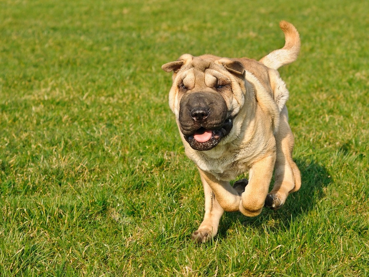 Shar-Peis are an unusual sort of photogenic.