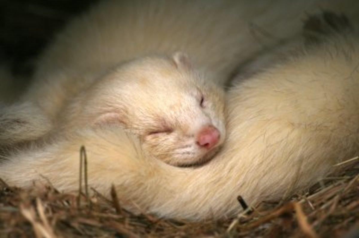 Domesticated ferret