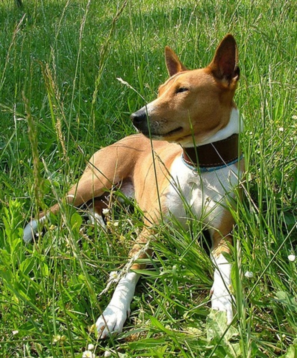 Basenji relaxing after a hunt.