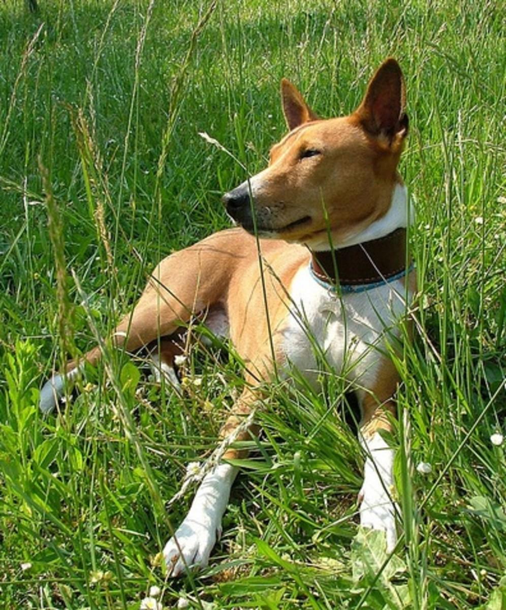Basenji relaxing after a hunt.