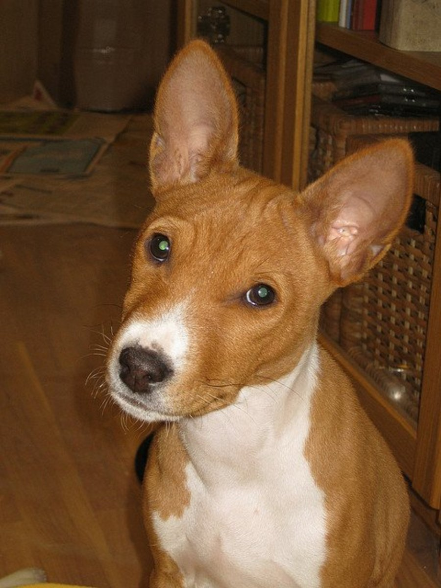 Basenji always look curious.