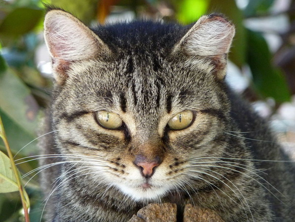 Cats that live in feral cat colonies often have an ear that is notched or cut by a vet.  This lets caretakers know that the cat has been vaccinated and spayed or neutered.