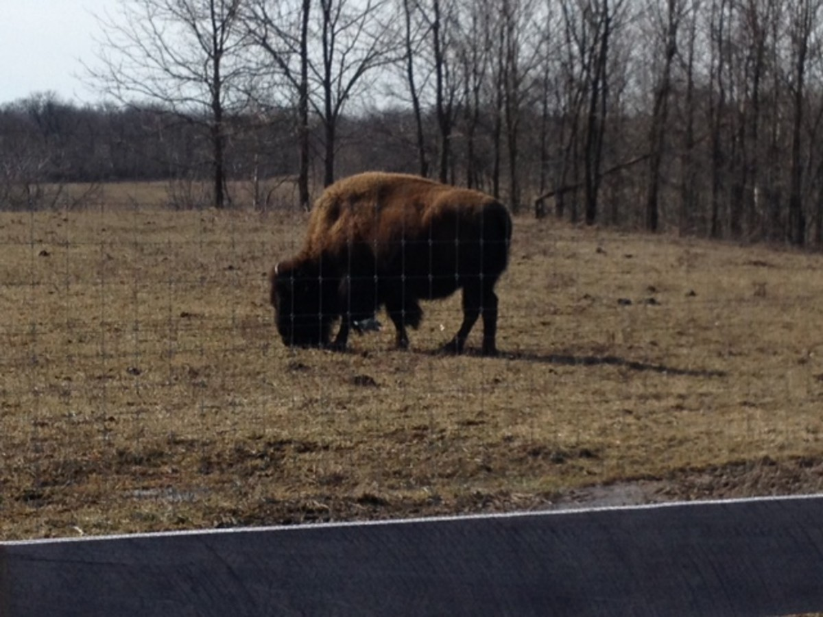 Bison graze along the Darby Creek Greenway