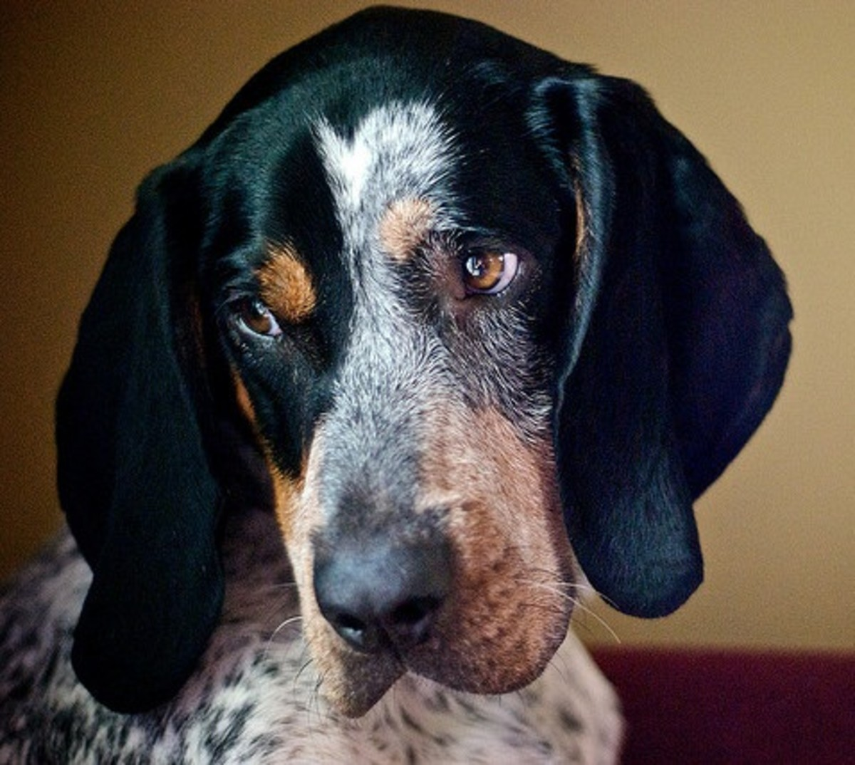 Bluetick Coonhound looking thoughtful.