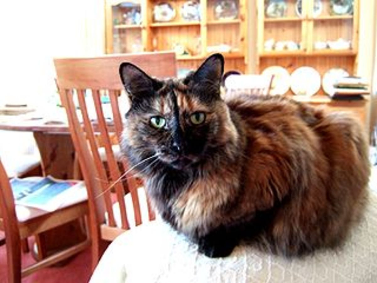 A tortoise shell cat similar to Holly.