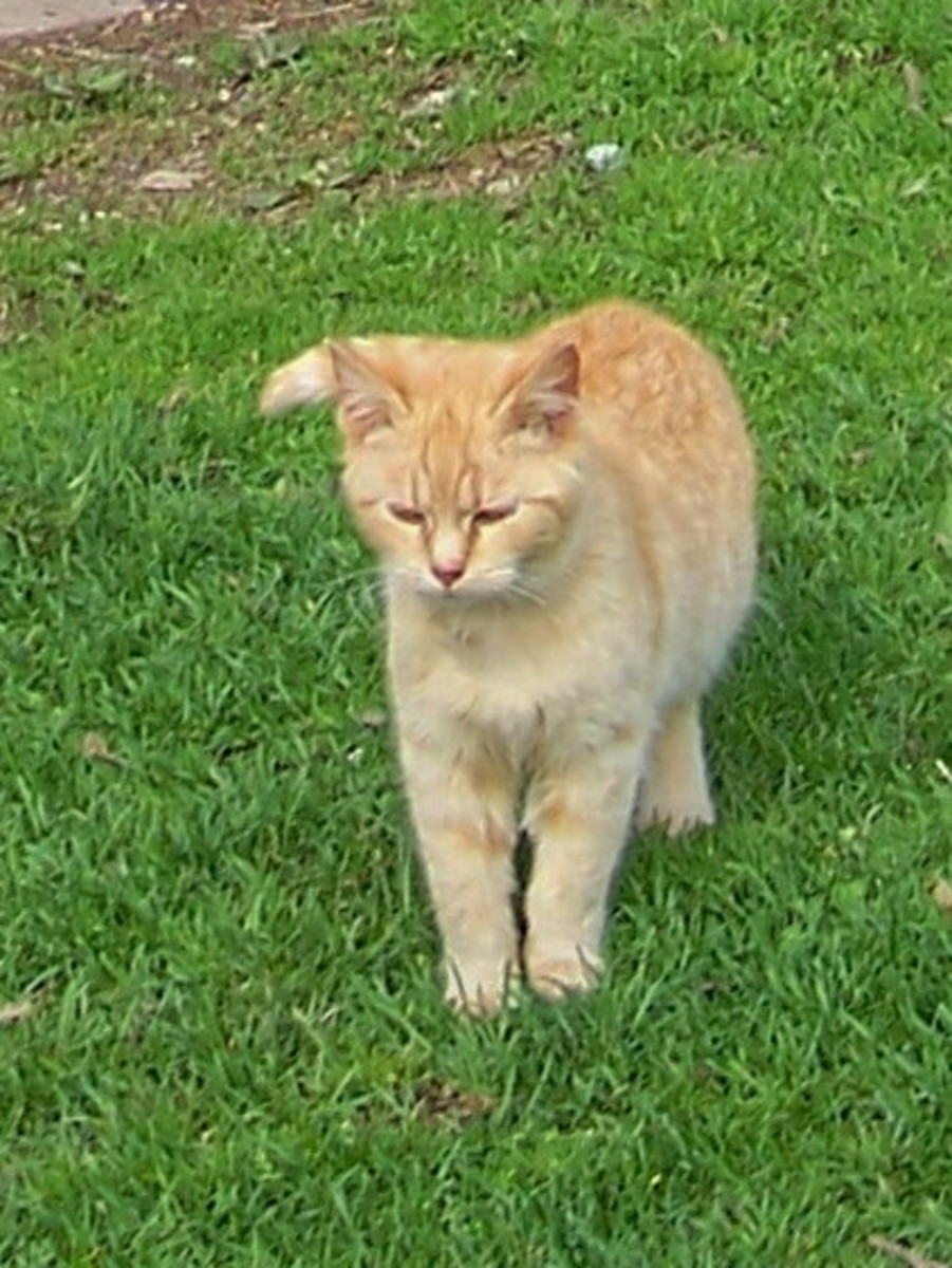 An orange, de-clawed cat like this one Intimidated a bear!