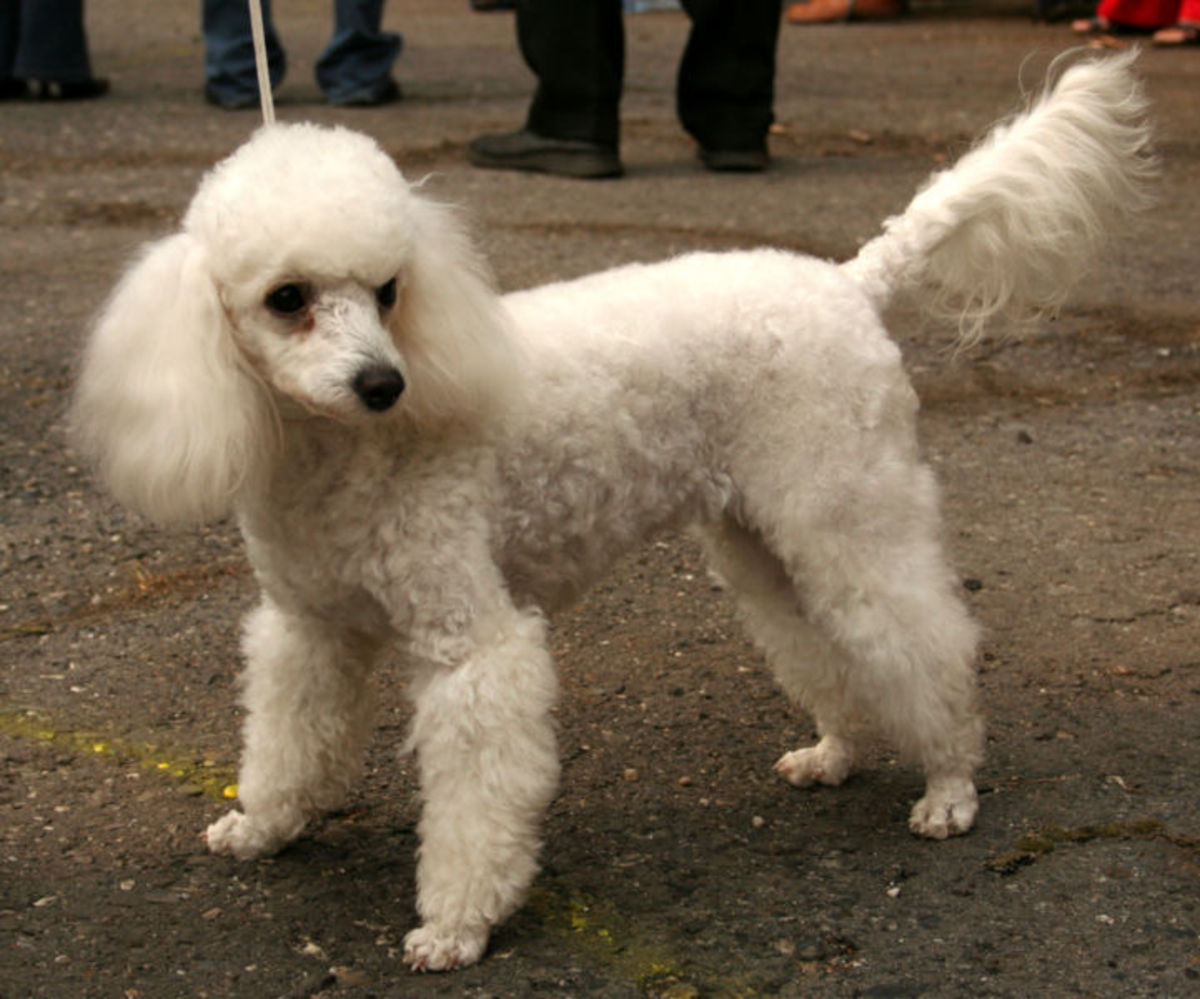 A miniature poodle can make a great agility partner.