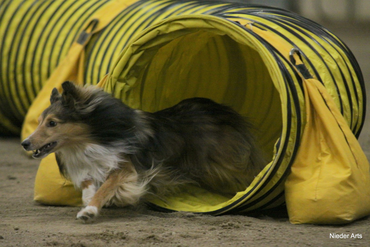 A Sheltie flies out of a tunnel.