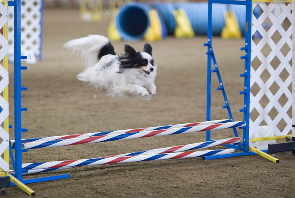 A black and white Papillon leaps high over a jump.