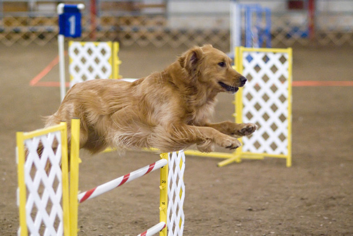 A Golden Retriever having fun playing agility.