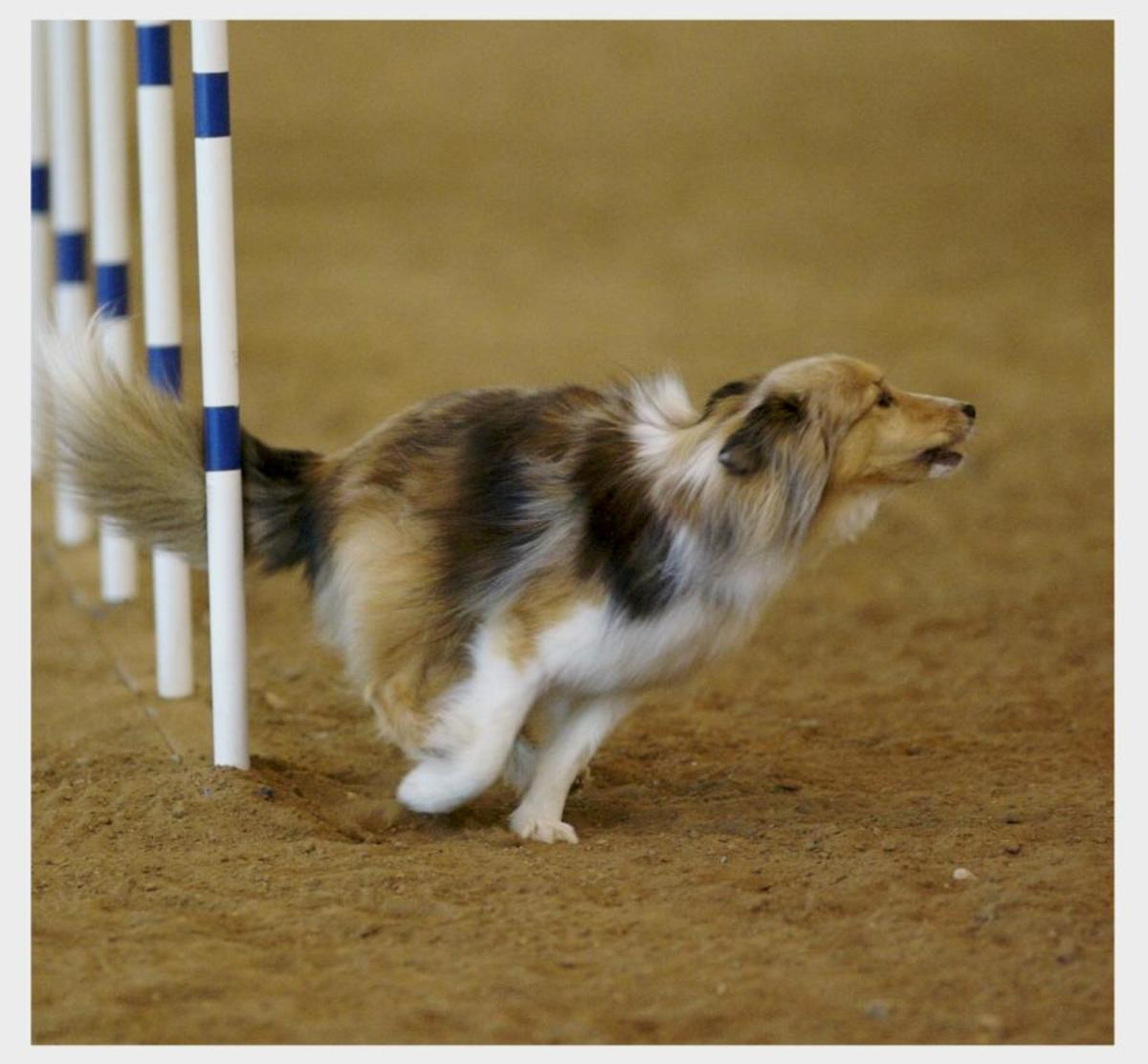A Sheltie barking as he exits the weaves.
