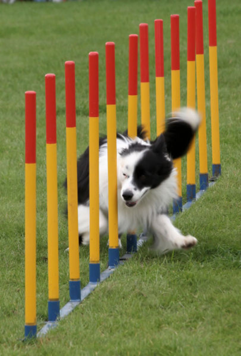 A Border Collie racing through brightly colored weave poles.