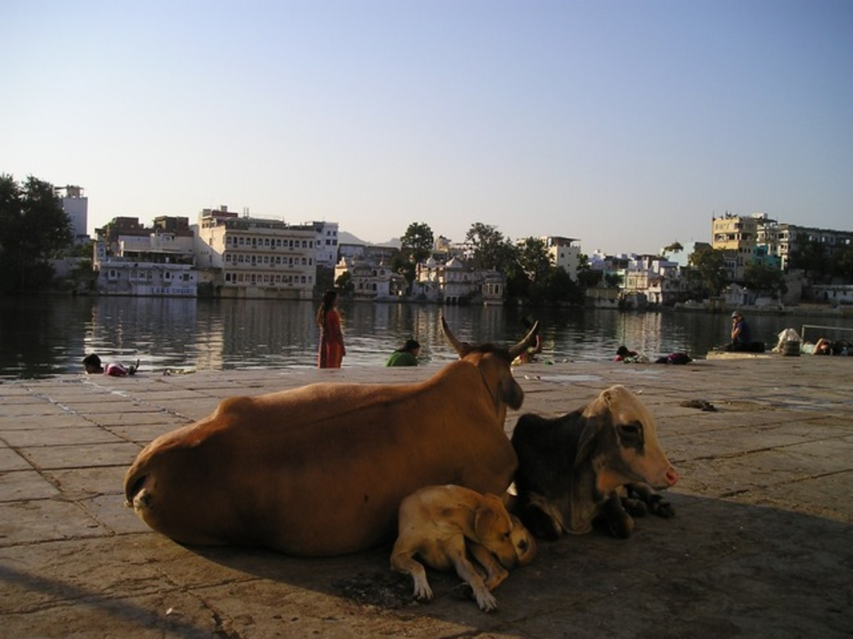 Pariah dogs in India are also used to being around cattle.