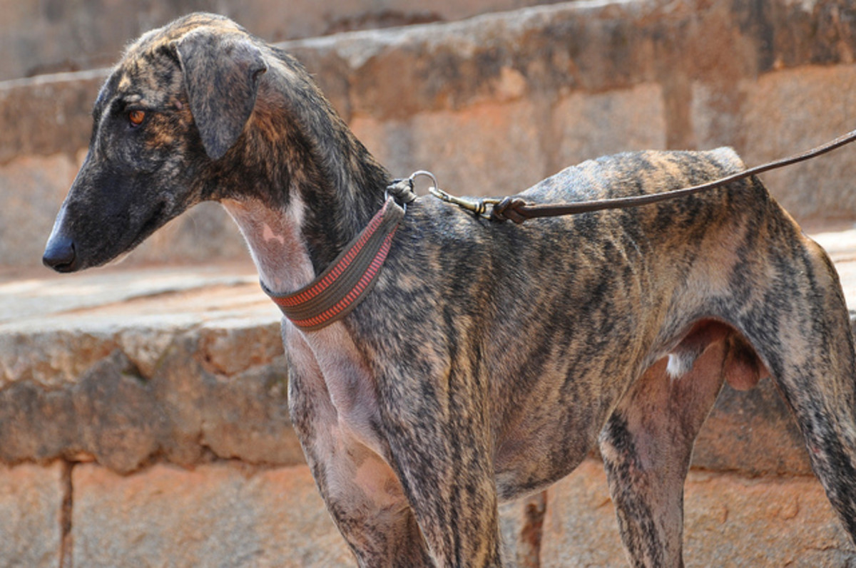 A Caravan Hound in India.