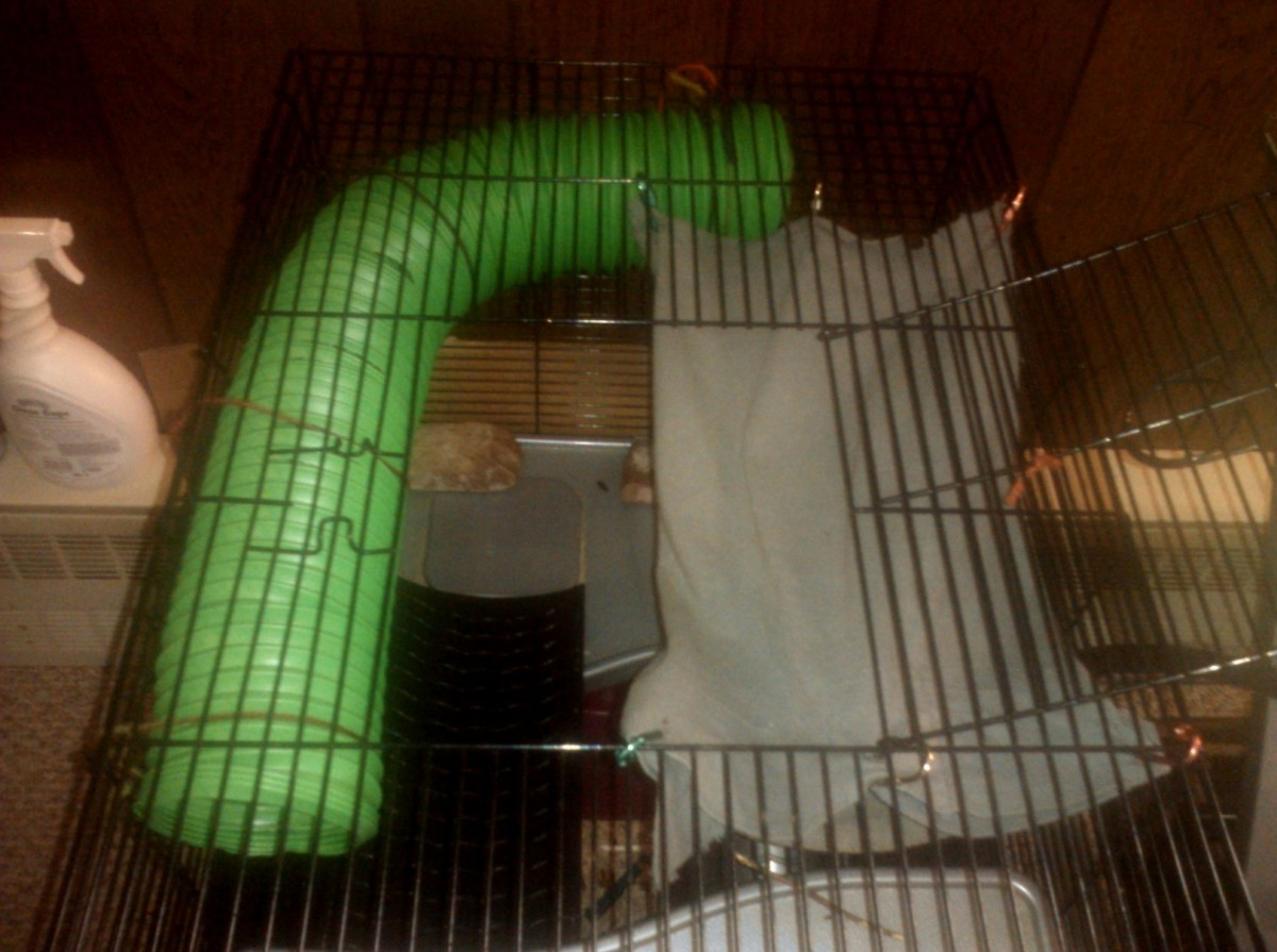 Make sure the doors and latches to your rat's cage are sturdy and closed tight.