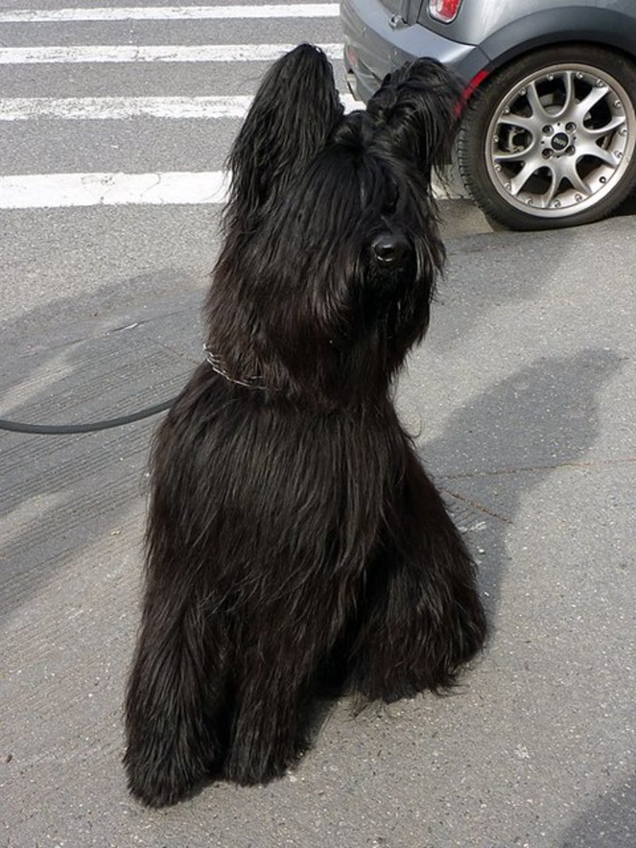 A Briard looks good in the country or in the city.