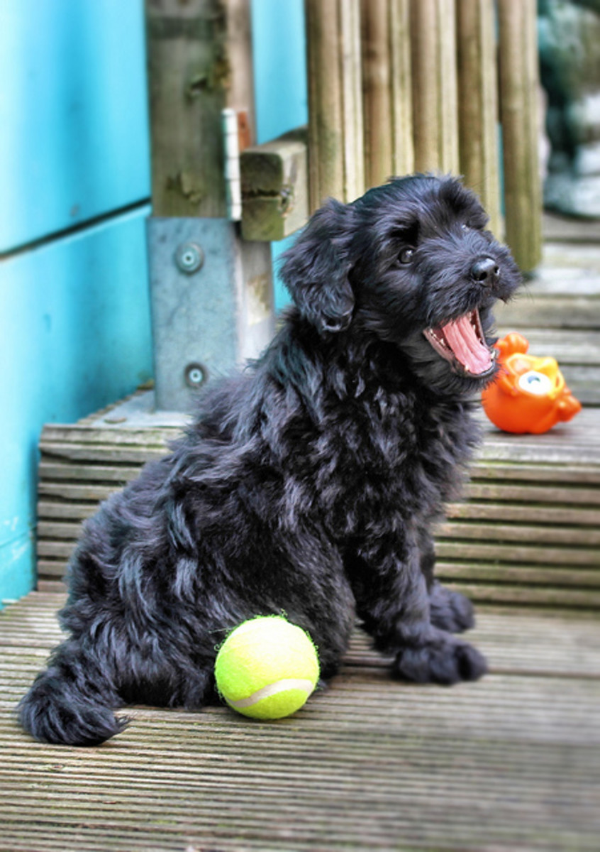 A Bouvier puppy.