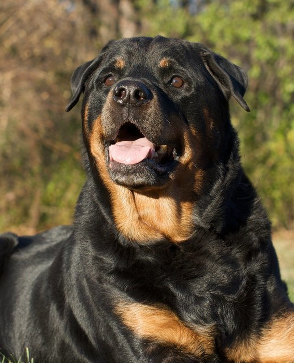 Rottweilers were shepherds but now they are mostly used for protection.