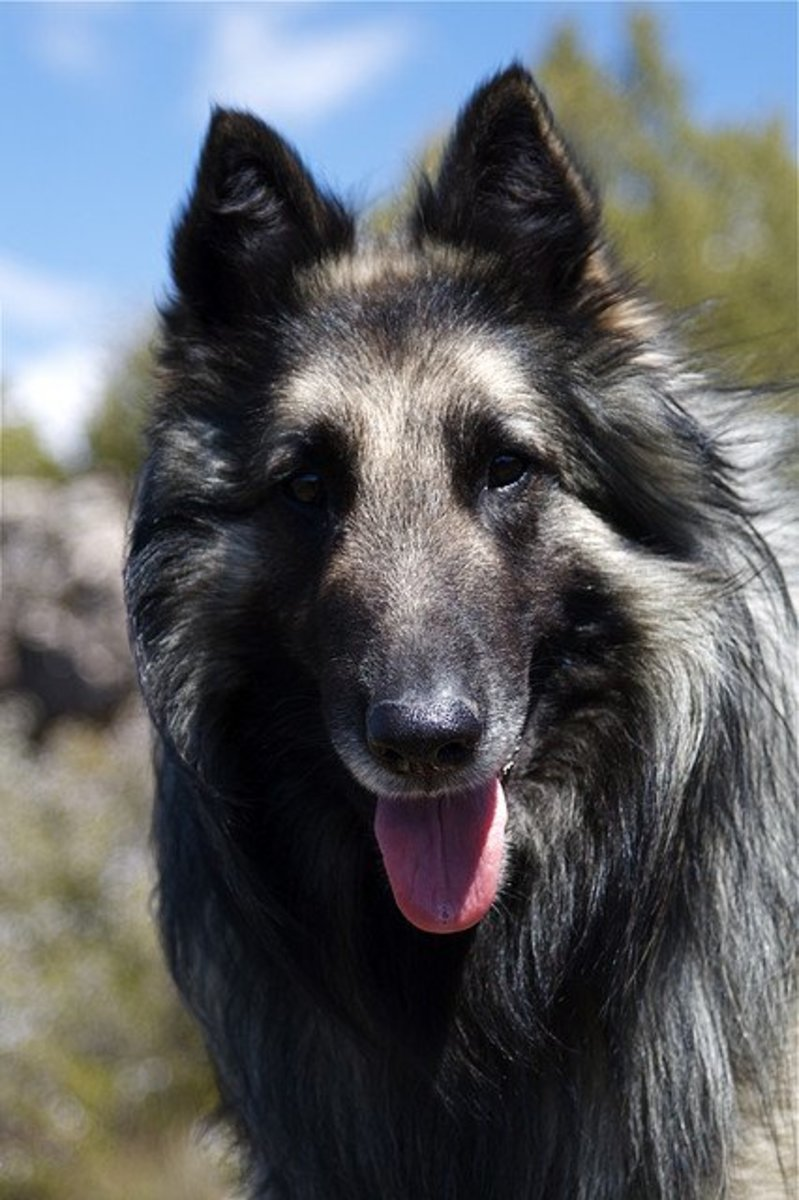 This is the Groenendael variety of Belgian Shepherd.