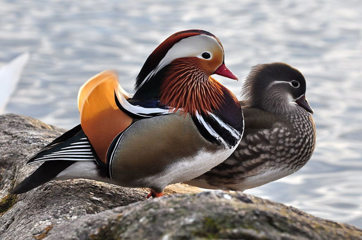 A pair of Mandarin Ducks with male on the left