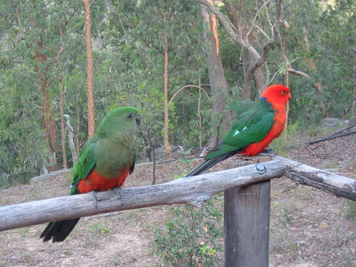 A pair of Australian King Parrot with male on the right