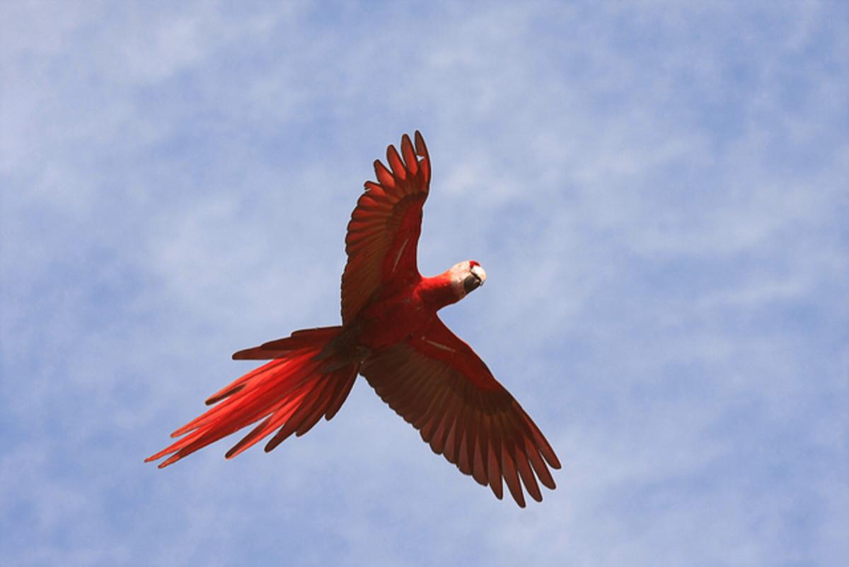 Scarlet Macaw in flight.
