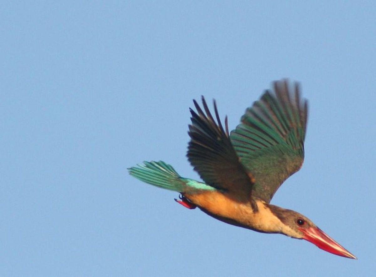 Stork-billed Kingfisher in flight