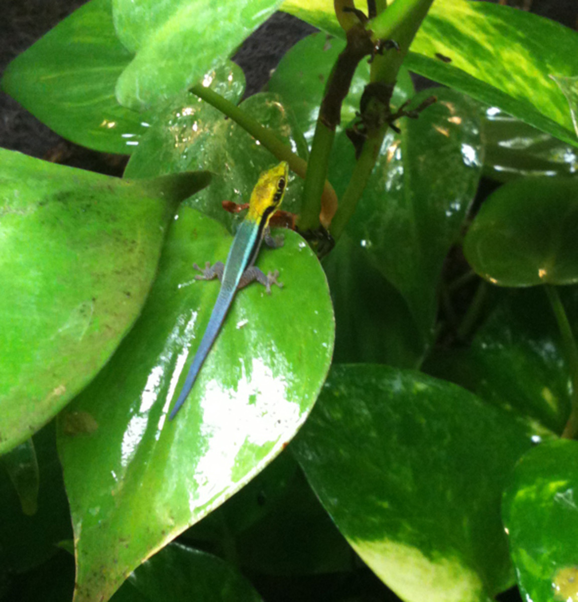 Day geckos appreciate live plants in their enclosures