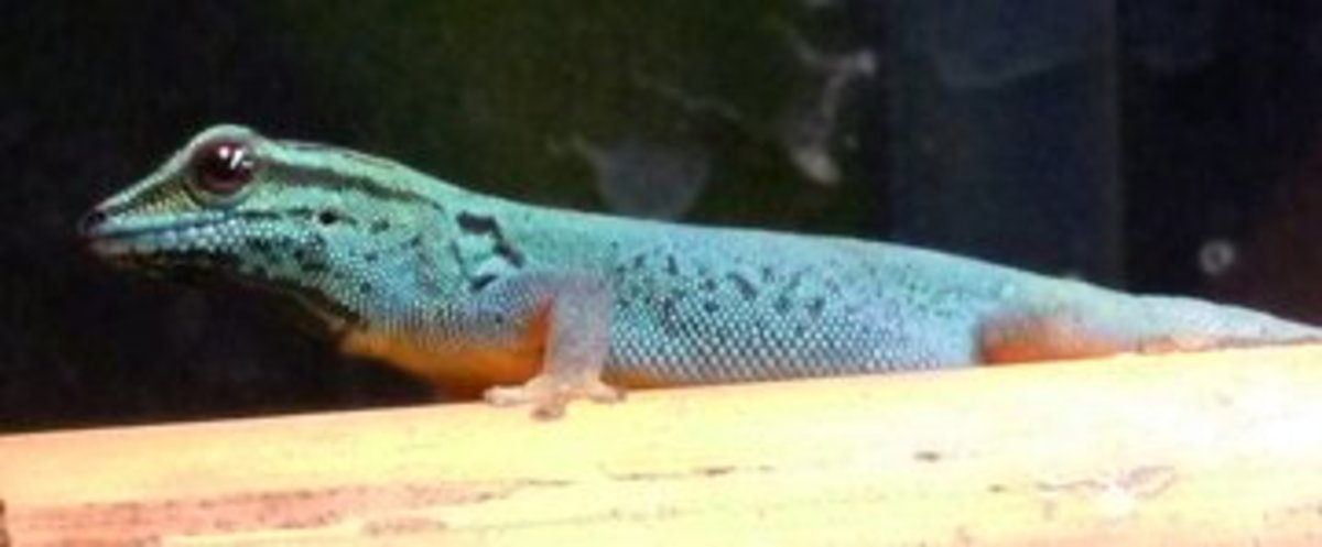 The electric blue gecko, L. williamsii, requires similar conditions to day geckos.