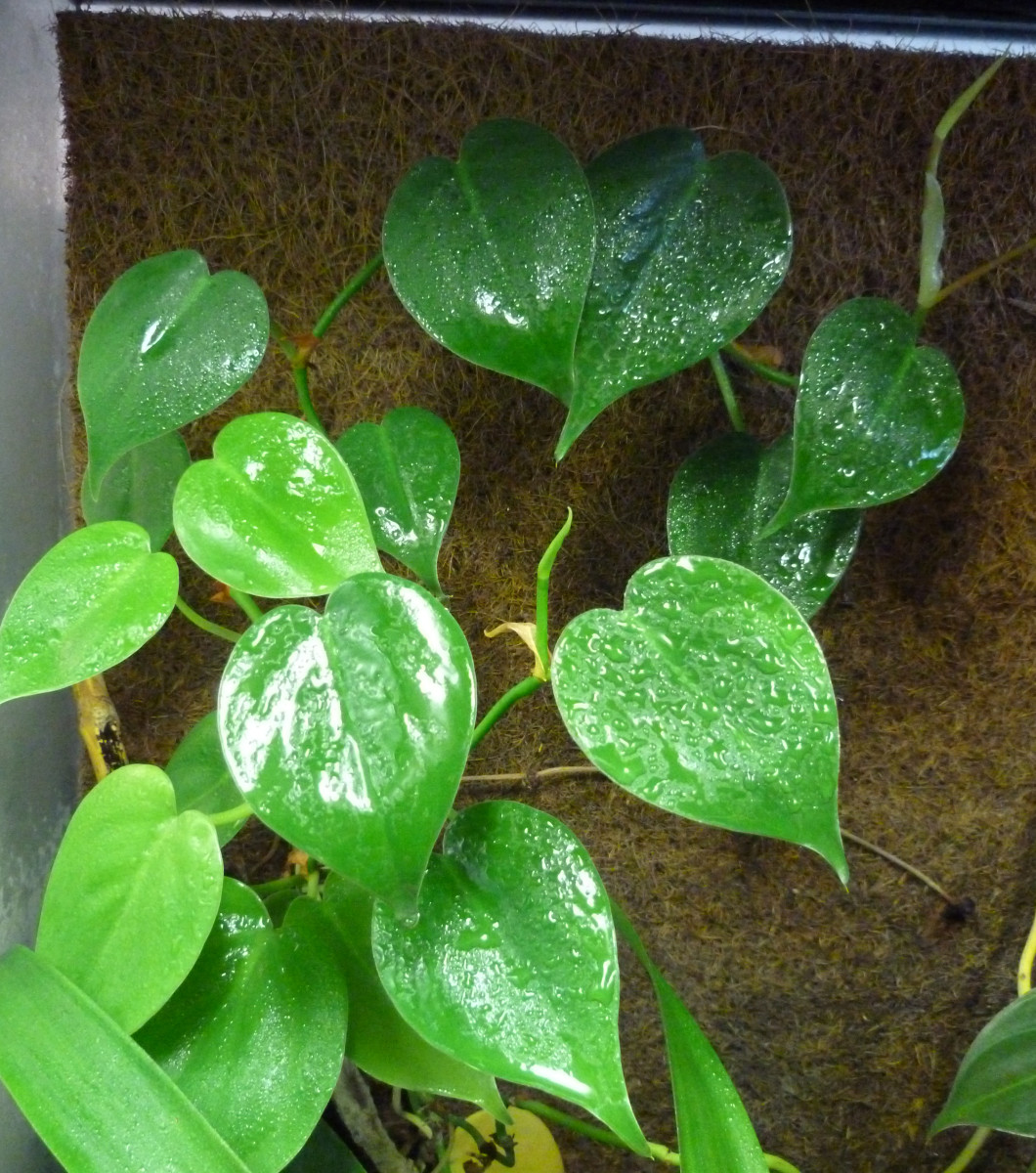 Pressed coconut backgrounds provide a great substrate for climbing vines like pothos.